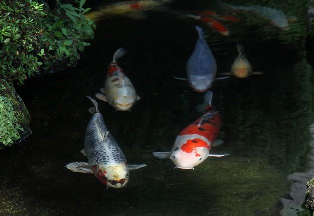 庭池泳ぐ錦鯉