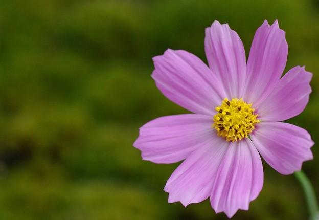 Photos: コスモス咲く季節