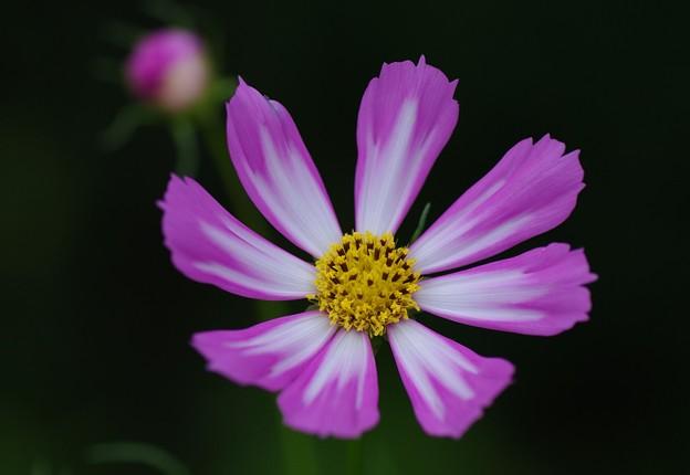 庭に咲くコスモス