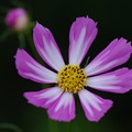 Photos: 庭に咲くコスモス