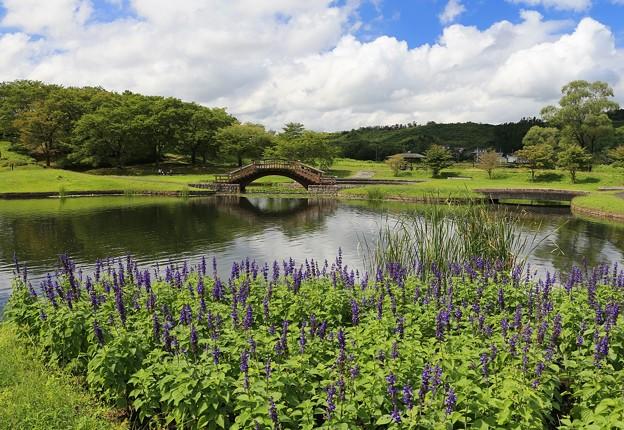 Photos: サルビア咲く池の畔