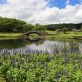 サルビア咲く池の畔