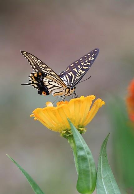 黄色好みのアゲハ蝶