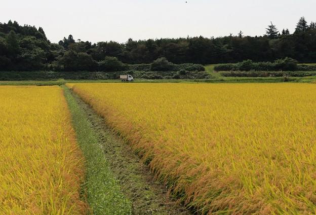 Photos: 黄金色の田んぼ