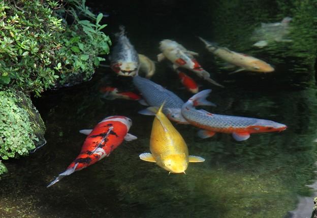 錦鯉の日常