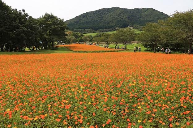 キバナ咲く花畑