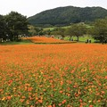 Photos: キバナ咲く花畑