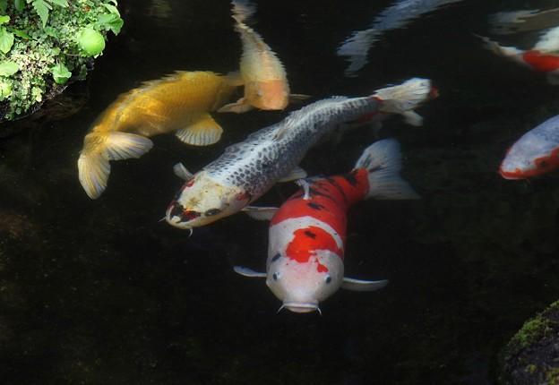快活な鯉たち
