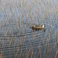池塘を泳ぐ鳥