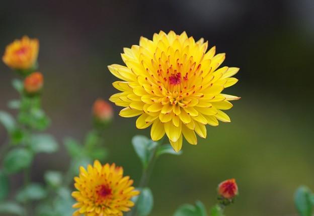 菊の花咲く季節