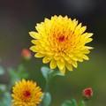 Photos: 菊の花咲く季節