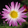 11月の花