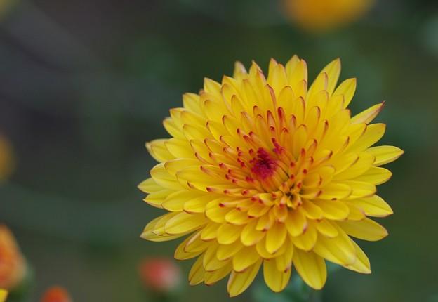 庭に咲く菊の花