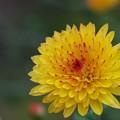 Photos: 庭に咲く菊の花