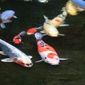 Photos: 庭池の鯉