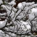 Photos: 枝 雪