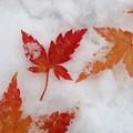 Photos: もみじと雪と
