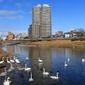 Photos: 白鳥渡来の広瀬川