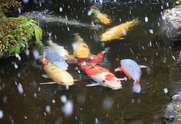 雪降る池の錦鯉
