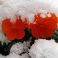 Photos: 重い雪