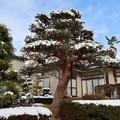 Photos: 雪化粧の赤松