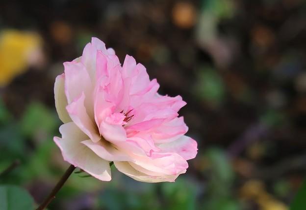Photos: 冬薔薇