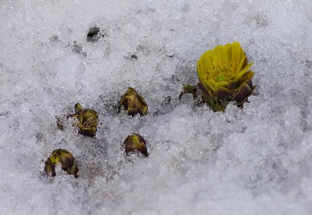 雪解けて福寿草