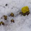 Photos: 雪解けて福寿草