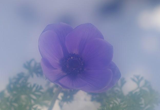 紫のアネモネ