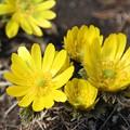 春呼ぶ福寿草