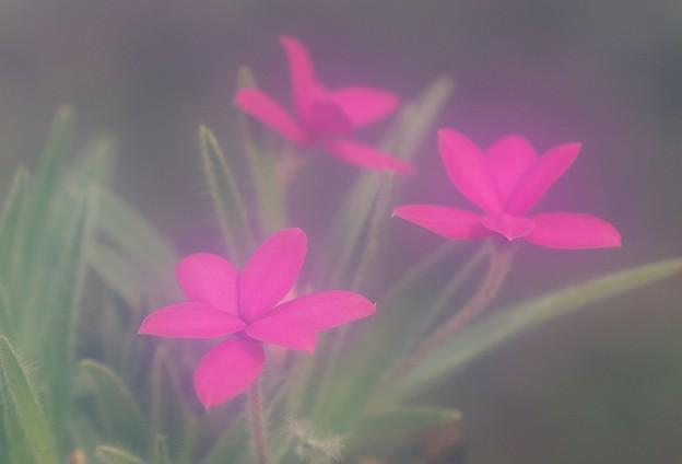 Photos: 想い伝えるアッツ桜