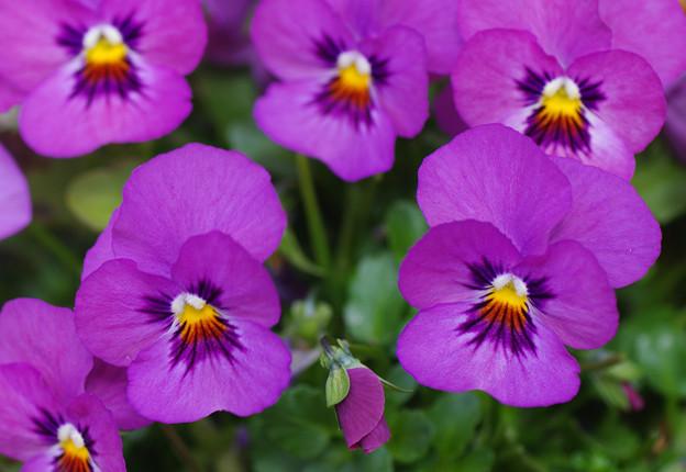少女の恋の花