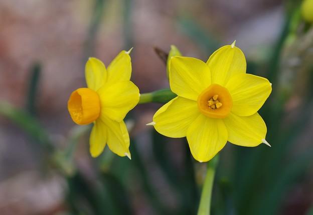 黄色の日本水仙