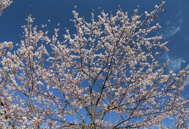 三神峯の丘桜