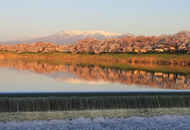 Photos: 朝陽に映える桜風光