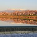 朝陽に映える桜風光