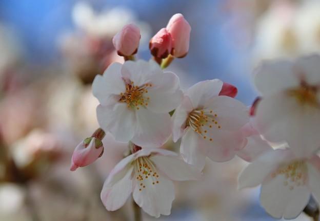 Photos: 鮮麗な桜