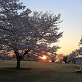 Photos: 桜と朝日と