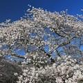 Photos: 満開の桜