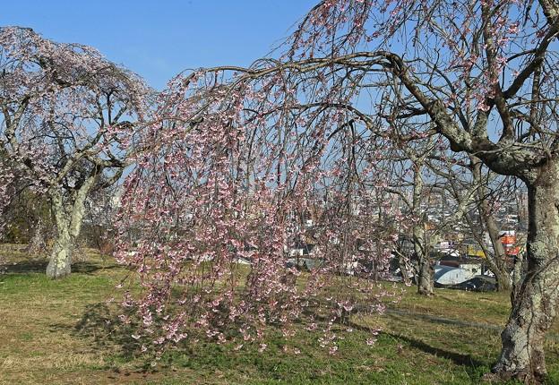 丘の枝垂れ桜