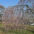 Photos: 丘の枝垂れ桜