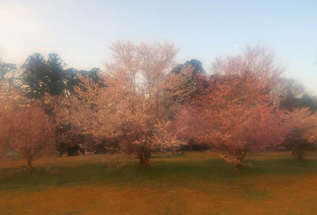 Photos: 夢 桜