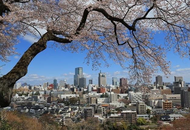 仙台桜の季節