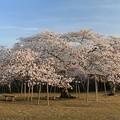 Photos: 桜の巨木