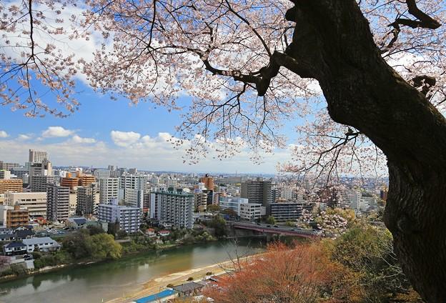 杜の都を見下ろす桜
