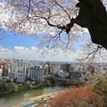 Photos: 杜の都を見下ろす桜