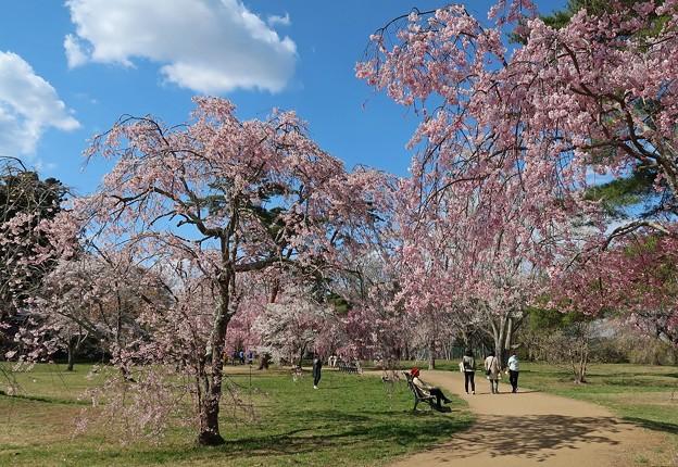 枝垂れ桜の美しさ