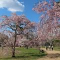 Photos: 枝垂れ桜の美しさ