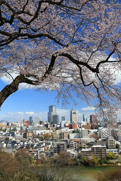 巨木の美桜咲く仙台