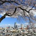 Photos: 巨木の美桜咲く仙台